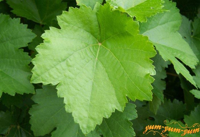 Собираем молодые виноградные листья